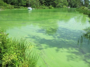 Blue-Green Algae is toxic for pets